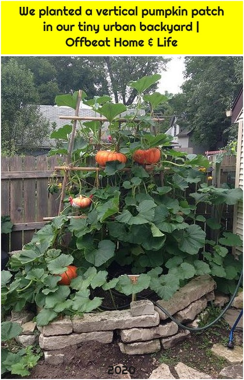 We planted a vertical pumpkin patch in our tiny urban backyard | Offbeat Home & Life
